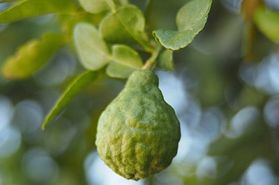 Arbol de la bergamota